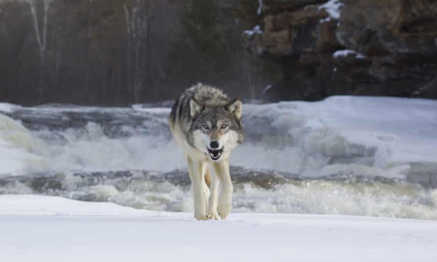 Grey Wolf (Canis lupus) adult. Researchers have been arguing about the origins of the spaniel, the terrier and the collie for more than a decade.