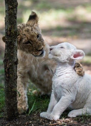 Lion cub Cecil plays with Zahra, a four-week-old white lion cub who was rejected by her mother because of an infectious disease. Zahra has fully recovered and is being raised by keepers at Magan Zoo, in Felsolajos, Hungary