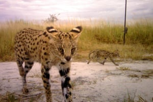 A camera trap shot of a serval