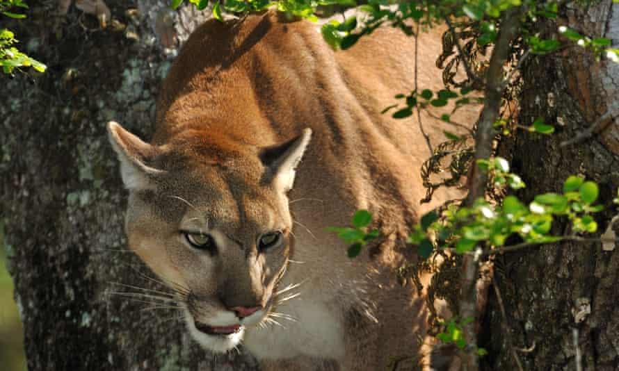 Expanding protected territory will help the threatened panther roam more freely and safely.