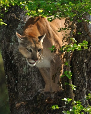 Environmentalists claim the project threatens the habitat of the Florida panther