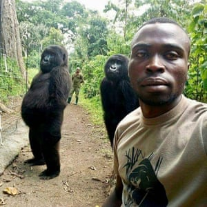 Mathieu Shamavu, a ranger and caretaker at the Senkwekwe Center for Orphaned Mountain Gorillas poses for a photo with female orphaned gorillas Ndakazi and Ndeze at the the Senkwekwe Center for Orphaned Mountain Gorillas in Virunga National Park, eastern Congo. Shamavu has described to the Associated Press how he was checking his phone when he noticed two female orphaned gorillas, Ndakazi and Ndeze, mimicking his movements, so he took a picture with them.