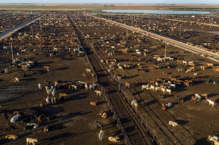 A feedlot for cattle in Texas, US