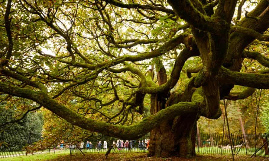 The Allerton Oak.