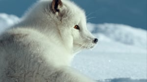 The Arctic fox is adapted for colder climates with a multi-layered coat, extra body fat and an intricate circulation system that keeps the blood in its paws warm, even when it walks on ice.