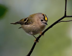 A goldcrest, the national bird of Luxembourg.