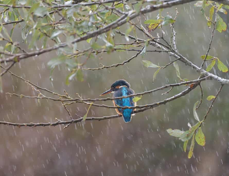 A kingfisher on a branch in the rain