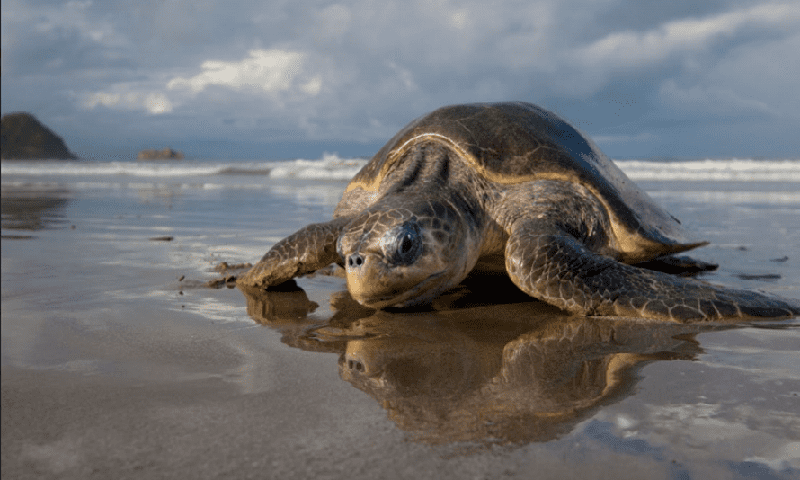 A female Olive Ridley sea turtle arriving at the beach to lay eggs at Playa La Flor, Nicaragua. This species is critically endangered.