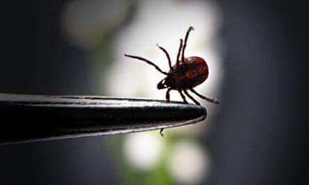 A female tick