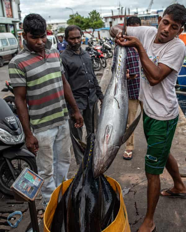 Yellowfin tuna are weighed at the fish market. Increasing numbers of juvenile fish are being caught before they can reproduce.