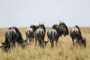 Wildebeests are seen at the Maasai Mara National Reserve, Kenya.