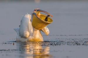 Great white pelican (Pelecanus onocrotalus) Danube delta, Romania