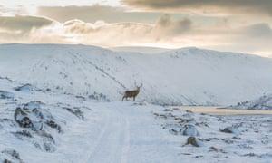 Red deer in the Highlands.
