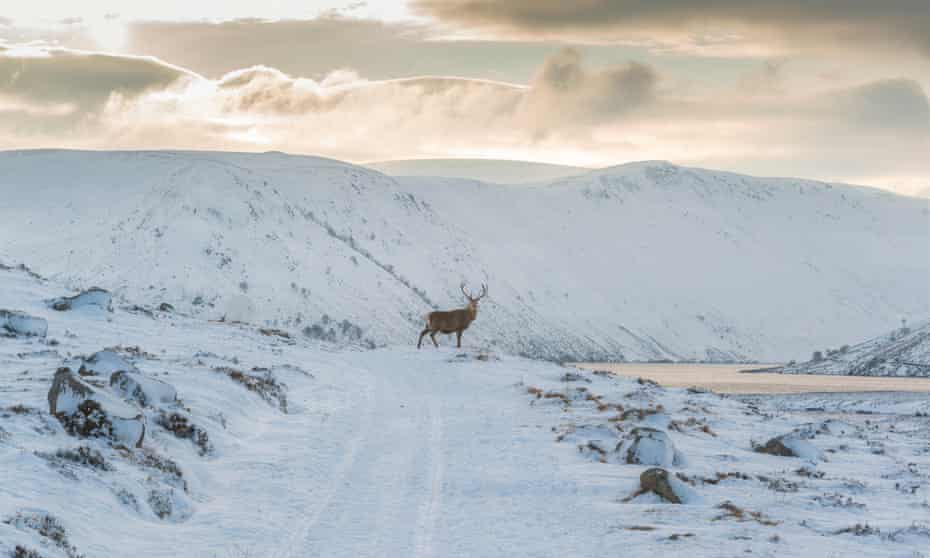 Red deer in the Highlands.