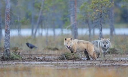 Two European Grey wolves (Canis lupus) and Common raven (Corvus corax) Kuhmo, Finland