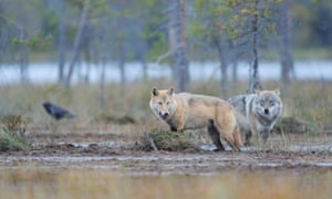 Two European grey wolves in Finland. As Wolf numbers have flourished, they have come into conflict with humans.