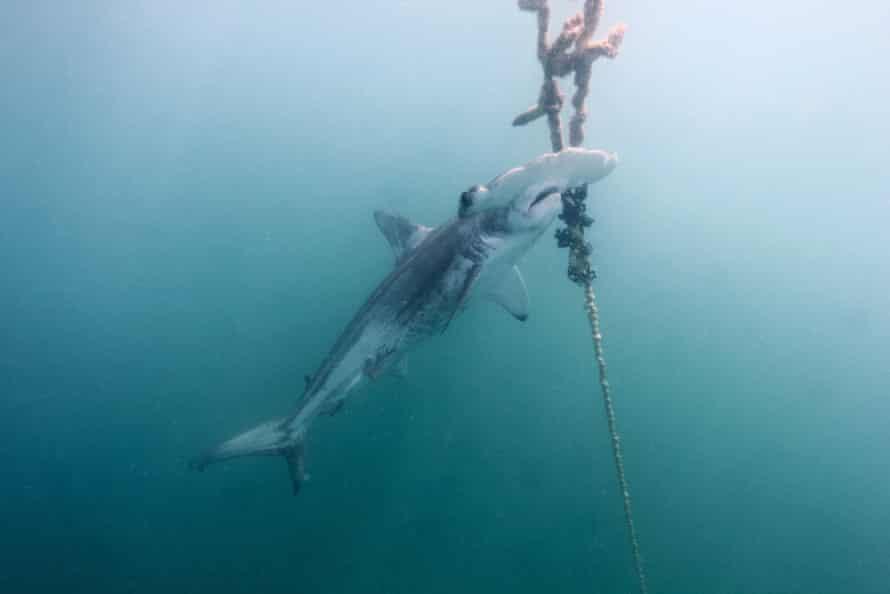 A dead scalloped hammerhead shark