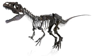 The skeleton of an unnamed species of therapod dinosaur