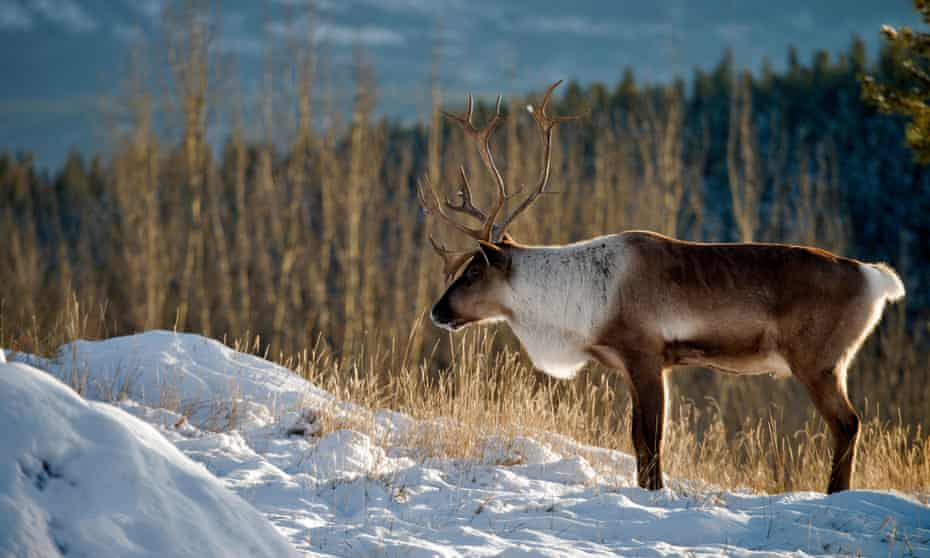 Mountain caribou can weight up to 600lbs. Biologist Mark Hebblewhite of the University of Montana said of the South Selkirk herd: 'They were besieged for decades.'