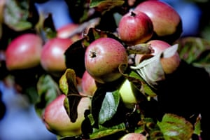 Apples at Barrington Court, Somerset, where well-timed rain made this year's crop juicy and sweet