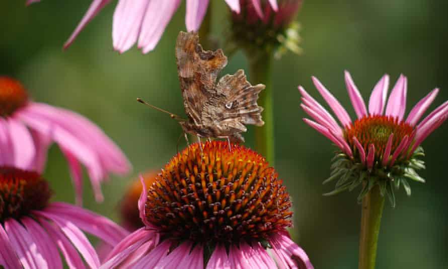Flutter by: a European Comma on Echinacea purpurea.