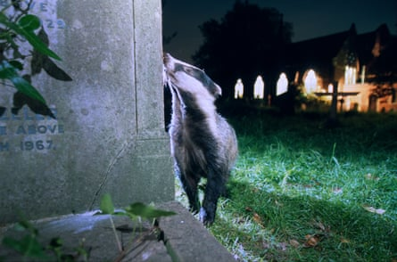 A badger in a graveyard, south London.