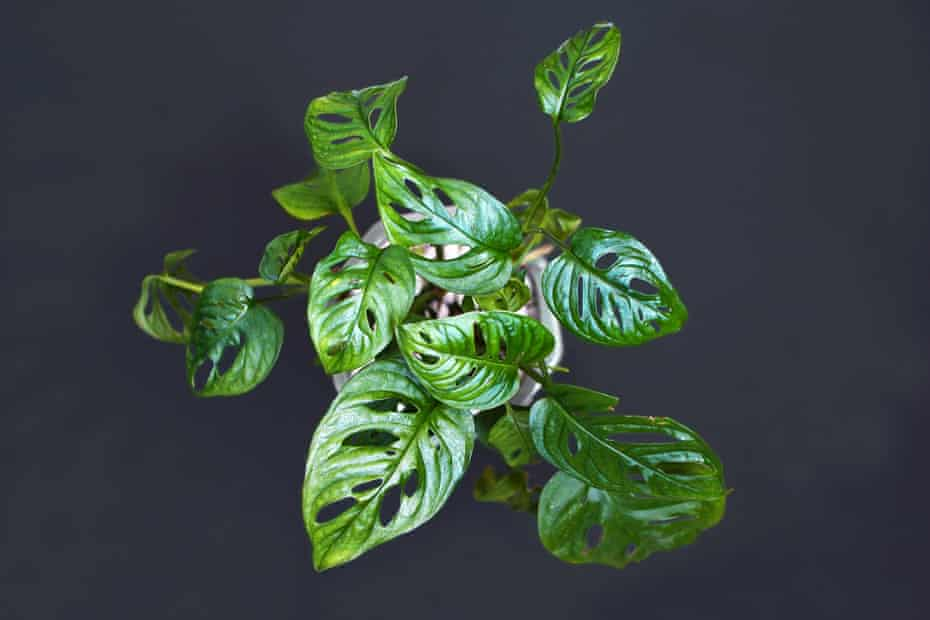 Expensive: an exotic 'Monstera Adansonii' or Swiss cheese vine house plant.
