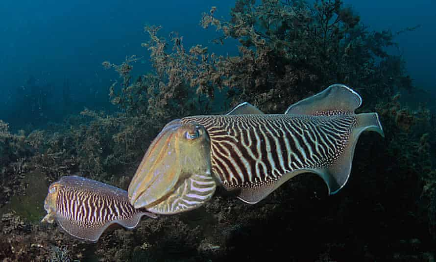 The cuttlefish delayed gratification when it led to a food item of higher quality and were able to maintain delays for periods of up to 50 to 130 seconds.