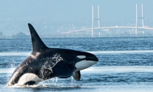 A large male killer whale in Fraser River