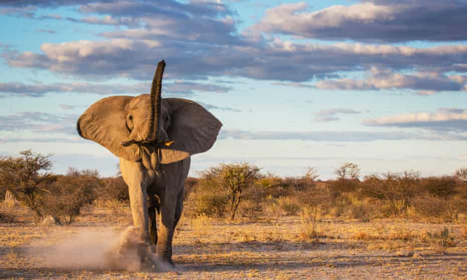 An African elephant, Nxai Pan, Botswana, Africa. Elephants' ability to adapt to climate change is curtailed by their slow reproductive rates.