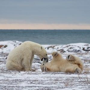 Polar BearsTwo polar bears sparring on the coast of the Hudson Bay, in late autumn. Churchill, Manitoba, Canada.