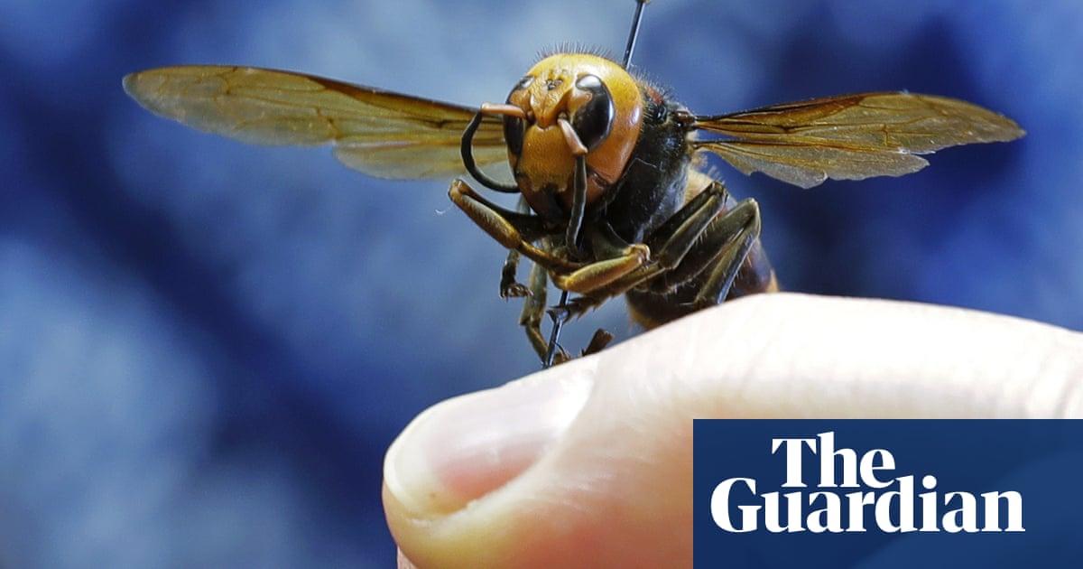 Dead 'murder hornet' near Seattle is first found in US this year