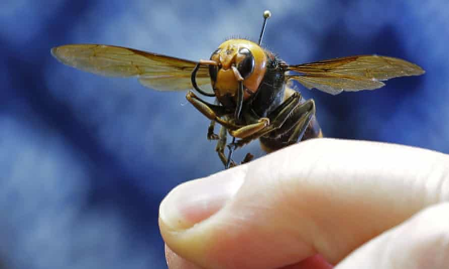 An Asian giant hornet from Japan is held on a pin by Sven Spichiger, an entomologist with the Washington state department of agriculture, last year.