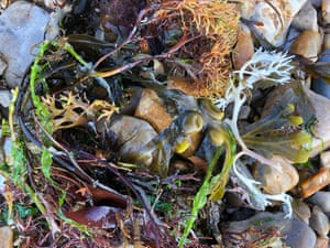A tangle of seaweed with bladderwrack pods at the centre.