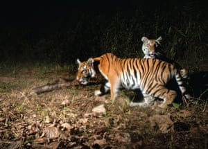 A pair of tiger cubs in Thailand. Tiger temples are a popular tourist attraction in the country.