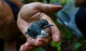 This young bird had fallen out of its nest, but Haray Sam Munthe, an expedition leader, decided to give it a helping hand.