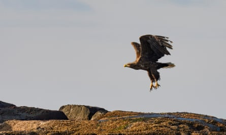 A white-tailed eagle sitting flying over a rock in the sea at the island of Senja in Northern Norway.