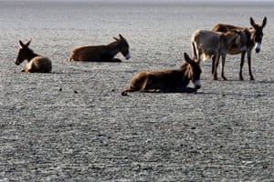 A herd of wild donkeys on the beach in Mannar, Sri Lanka