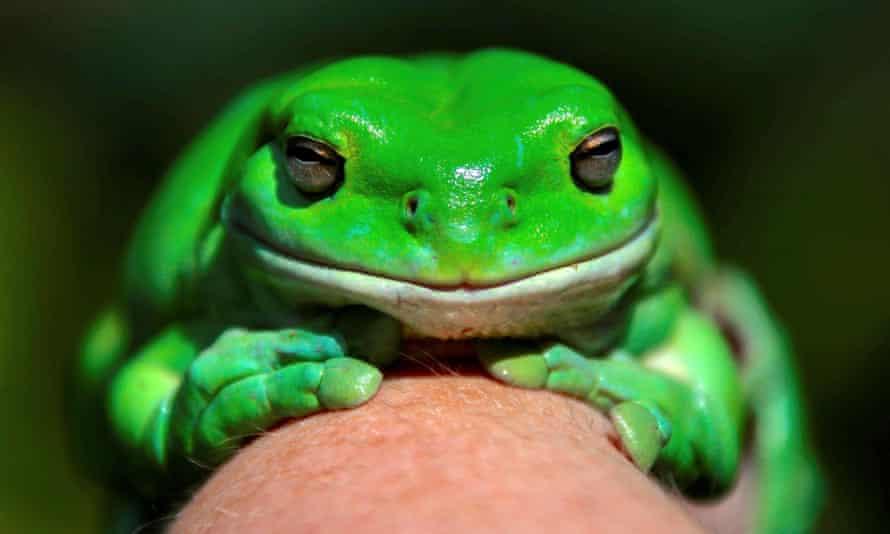 An Australian green tree frog