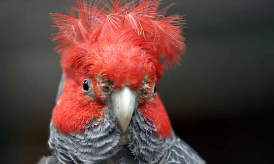 The gang-gang cockatoo