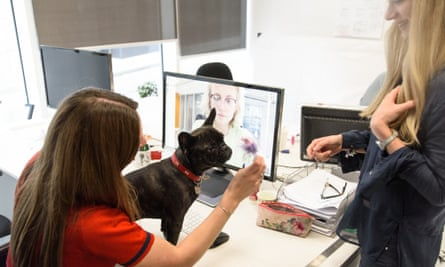 Amelie the French bulldog at London digital agency Rooster Punk.