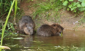 Beavers in the river Otter in Devon