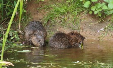 Beavers in the river Otter in Devon
