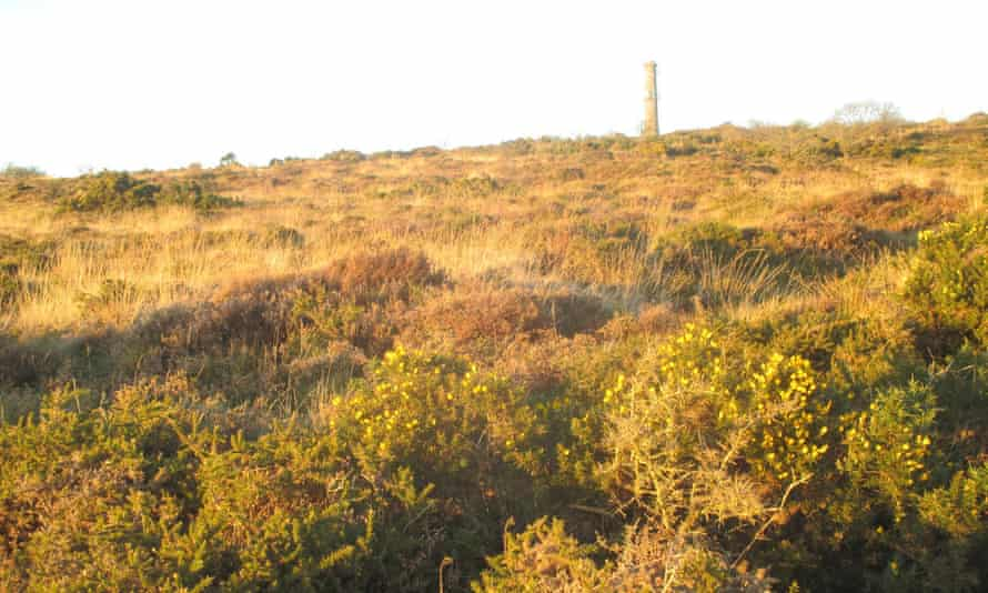 Late sun on gorse below Kit Hill stack.