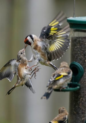 Goldfinches fight over food in a garden in Strensham, UK