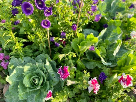 Giant cabbages nestle among stalks of purple campanula bells, cos lettuce, and pink-and-white petunias in Kate Nightingale's verge garden.