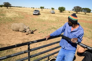 A farm worker looks on from the safety of a vehicle as a black rhino begins to recover from the effects of a tranquilliser dart