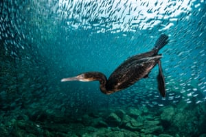Cormorant underwater view by Greg Lecoeur, France