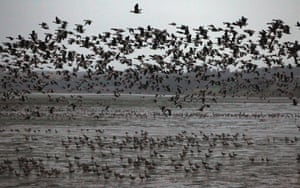 Pink footed geese take off to feed from Montrose Basin in Scotland