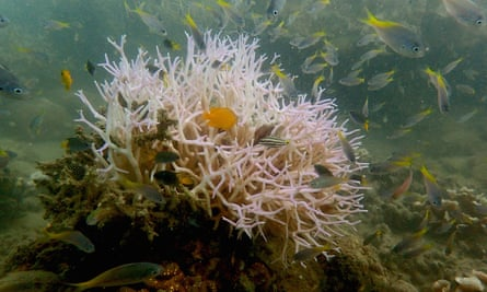 Newly bleached corals discovered near Palm Island on the Great Barrier Reef